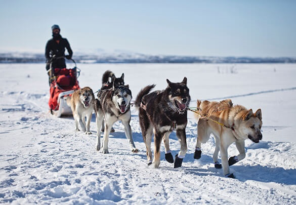 Explore Lapland by husky sledge.